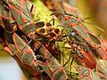 Swallowort Seed Bug - Flickr - treegrow.jpg