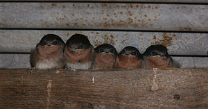 Welcome swallow - Image: Swallows parents and three chicks 444