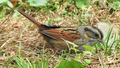 Swamp Sparrow, Green-Wood Cemetery.png