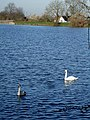 Swan and Cygnet, Tringford Reservoir - geograph.org.uk - 716815.jpg