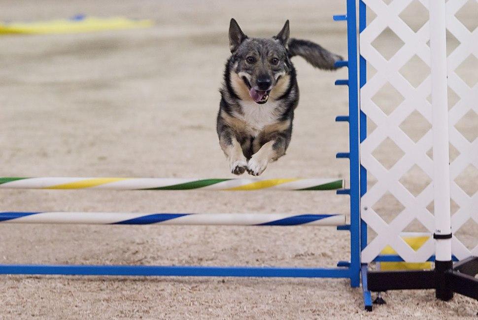 Swedish Vallhund 001