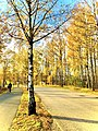 Swedish Yellow Foliage.jpg