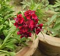 Sweet William-Dianthus barbatus (2).JPG