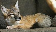 Swift Fox.jpg