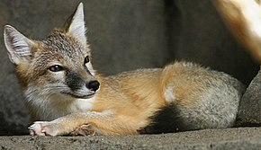 Description de l'image  Swift Fox.jpg.