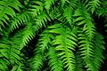 Sword Ferns (Linn County, Oregon scenic images) (linnDA0017a).jpg