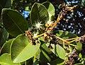 Syzygium caryophyllatum 15.JPG