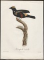 Tachyphonus cristatus - 1805 - Print - Iconographia Zoologica - Special Collections University of Amsterdam - UBA01 IZ15900269.tif