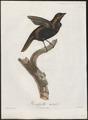 Tachyphonus cristatus - 1805 - Print - Iconographia Zoologica - Special Collections University of Amsterdam - UBA01 IZ15900275.tif