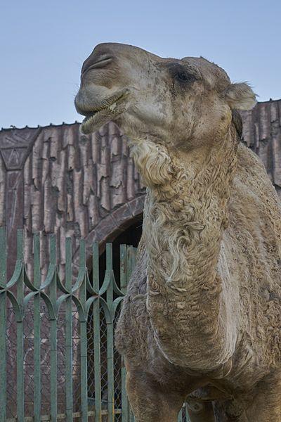 File:Taif Zoo Dromedary.jpg
