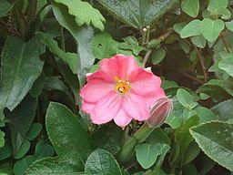 Taksu Passiflora Mixta