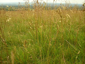 English: Tall grass growing wild at Lyme Park....