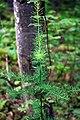 Tamarack Swamp (2) (9460385629).jpg
