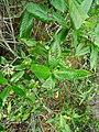 Tarenna asiatica - Asiatic Tarenna 14.jpg