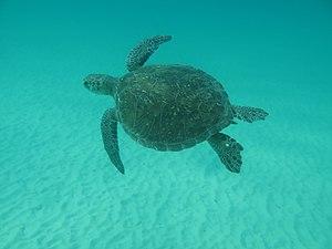 Ilha Grande - Image: Tartaruga Verde ou Aruanã Praia de Lopes Mendes Ilha Grande RJ