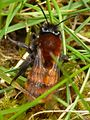 Tawny Mining Bee - Andrena fulva (f) 3.jpg