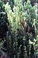 Taxus x Meyeri 2zz.jpg