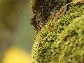 Tayloria rudolphiana 1.jpg