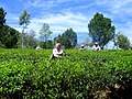 TeaGarden labourers.JPG