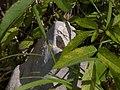 Teichalm Schmetterling CF9A5803.jpg