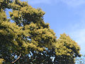 Terminalia Paniculata flowers.jpg