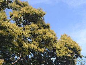Terminalia paniculata - Flowers