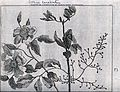 Terpentine tree bough (Pistacia terebinthus L.) and goel nas Wellcome V0043070.jpg