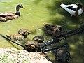 Terrapins and Ducks - Lagos Zoo - The Algarve, Portugal (1736156740).jpg