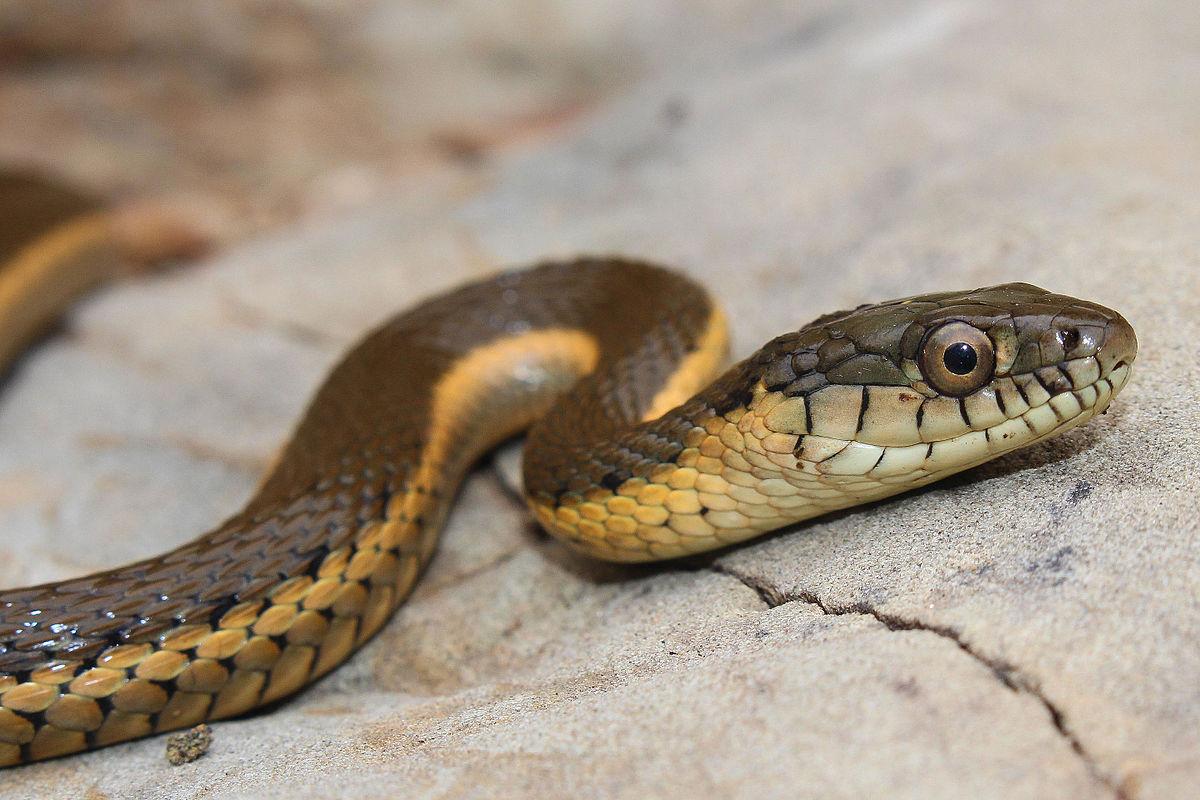 garden snakes eat wiki fasci garden