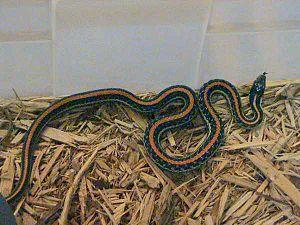 Texas garter snake - Texas garter snake, Thamnophis sirtalis annectens