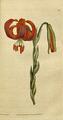 The Botanical Magazine, Plate 30 (Volume 1, 1787).png