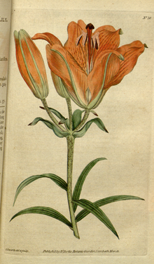 The Botanical Magazine, Plate 36 (Volume 1, 1787).png