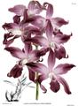 The Orchid Album-02-0006-0049-Laelia autumnalis atro-rubens.png