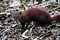 The ring-tailed mongoose (Galidia elegans) (15905687981).jpg