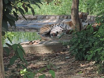 The royal Bengal tiger.jpg