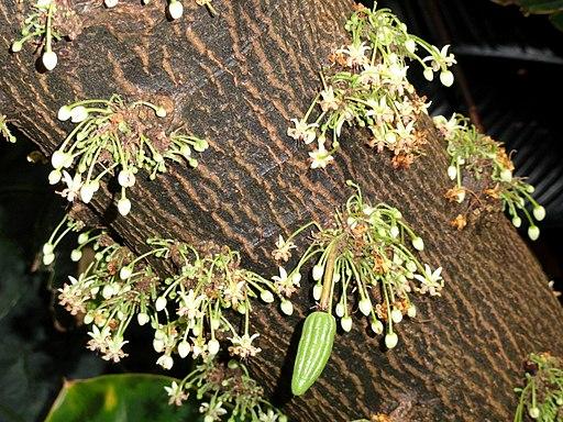 Theobroma cacao - Denver Botanic Gardens - DSC00898