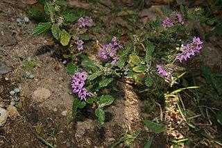 <i>Thomasia purpurea</i> species of plant