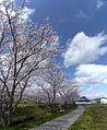 Thousand Sakura tree of Kabake river , 鹿化川 千本桜 - panoramio (10).jpg