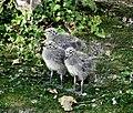 Three Herring Gull Chicks.jpg