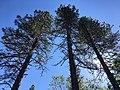 Three pine trees (Nevada City, California, USA, 15 May 2020).jpg