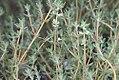 Thymus Provencale 0zz.jpg