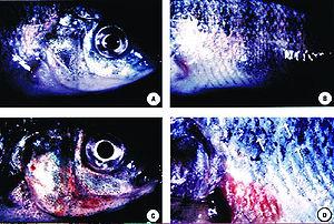 Predatory dinoflagellate - Acute pfiesteriosis in tilapia. Top row: unaffected fish; bottom row: fish preyed upon by the carnivorous alga Pfiesteria shumwayae.