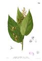 Tiliaceae sp Blanco2.312.png