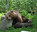 Tired brown bear 050701 01.JPG