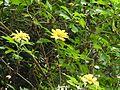 Tithonia diversifolia-2-sekar coffee-yercaud-salem-India.jpg