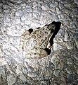 Toad (43171709540).jpg