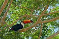 Toco Toucan (Ramphastos toco) (29135198690).jpg