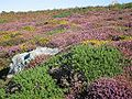 TomCorser Heather Gorse1.jpg