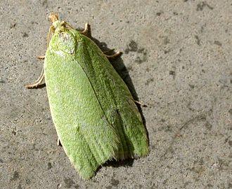 Tortricidae - Image: Tortrix viridana 01