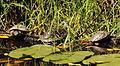 Tortugas en el jardín botánico.JPG